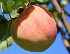 Яблоня подарок осени характеристика сорта 49