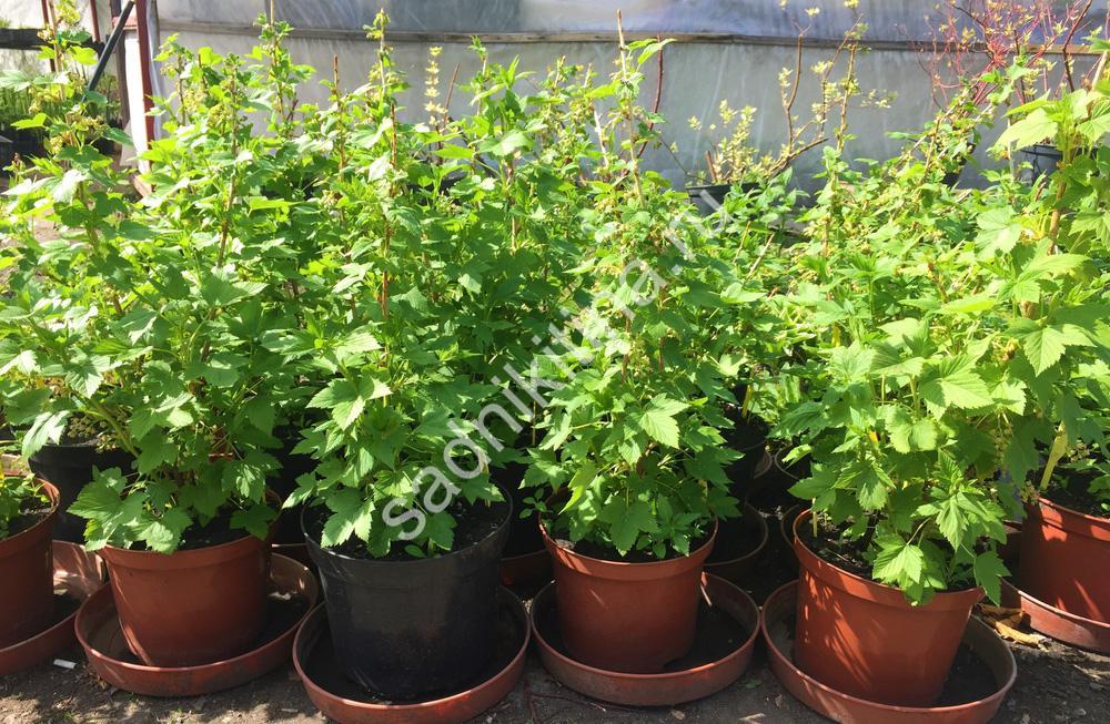 Саженцы смородины - 3-летние плодоносящие кусты - от 700 руб.